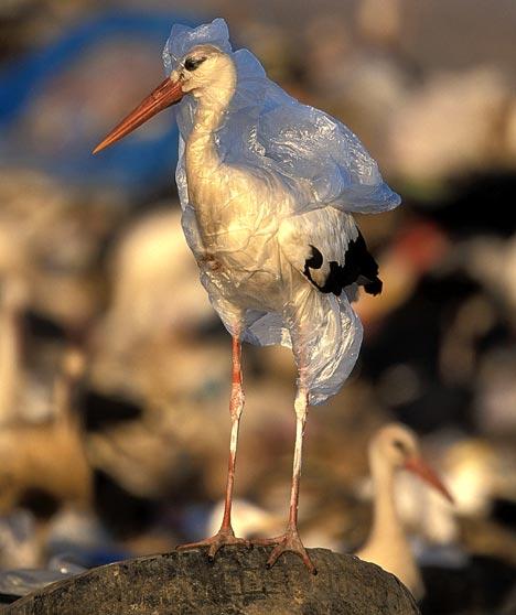 プラスチック袋の被害にあう海鳥